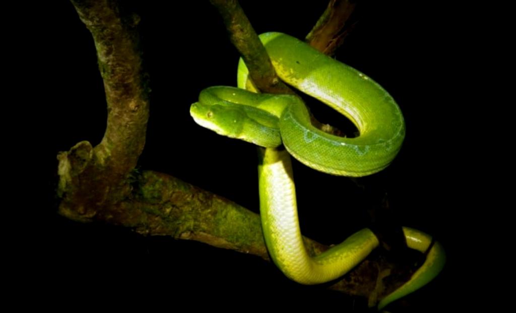 Papua endemic snake