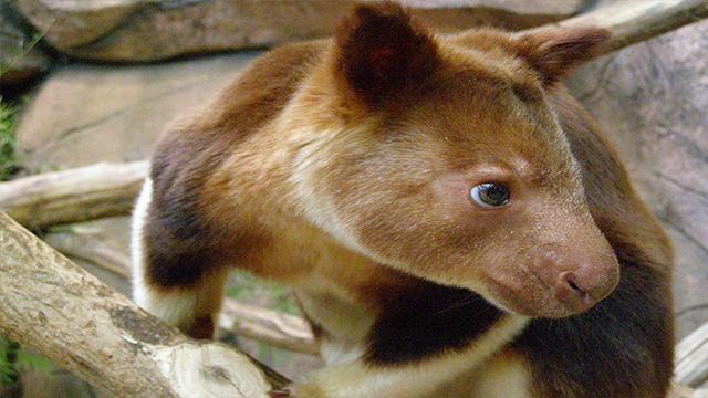 West Papua Kangaroo